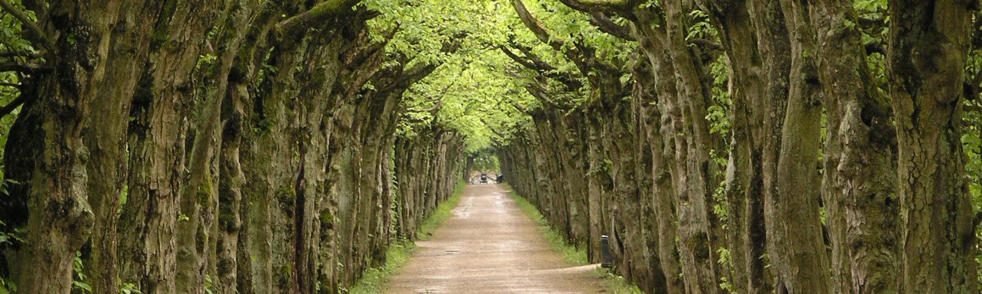 A long and winding road between a row of trees